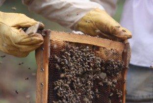 bijen honing ethiopie